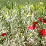 цветущие маки
