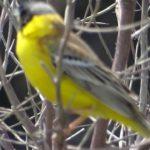 лимоный цвет оперенья птицы